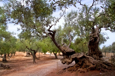 Ancient mediterranean olive trees from Majorca island in Spain photo