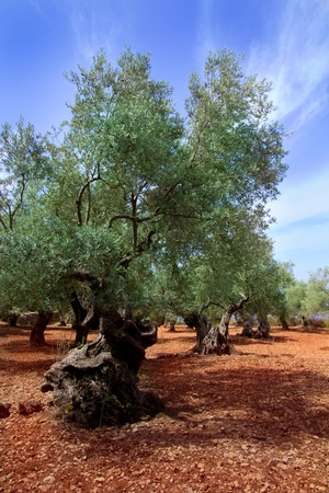 red soil: Ancient mediterranean olive trees from Majorca island in Spain