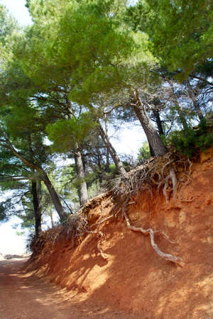 viewable: Mediterranean pine forest track with tree roots viewable in Majorca