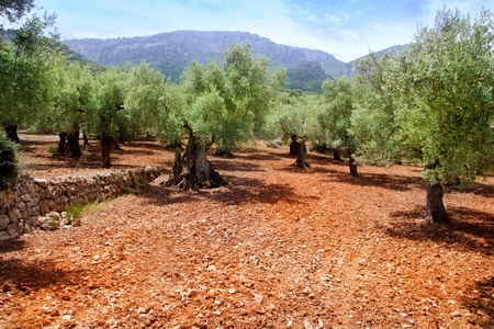 mediterranean forest: Olive trees from Majorca with red clay soil from Balearic islands in Spain