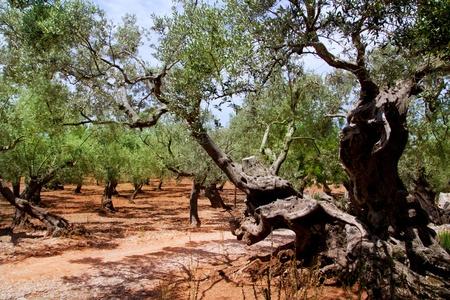 arboleda: Los olivos de Mallorca, con suelo de arcilla roja de las islas Baleares en España