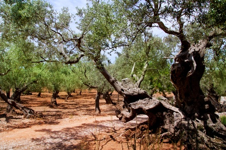 Olive trees from Majorca with red clay soil from Balearic islands in Spain