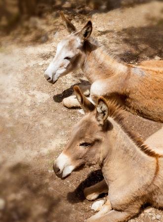 baby ass: Donkey mule in s mediterranean olive tree field of Majorca Spain Stock Photo