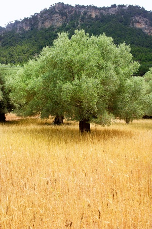 Agriculture from mediterranean Majorca wheat mixed with olive trees photo