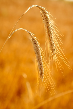 golden wheat two spikes of ripe cereal upside down photo