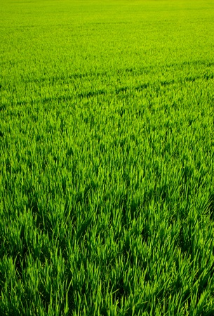 green grass rice cereal field in Valencia Spain photo