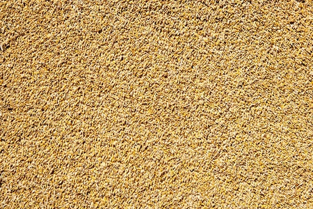 cereal wheat grain texture pattern in harvest time photo