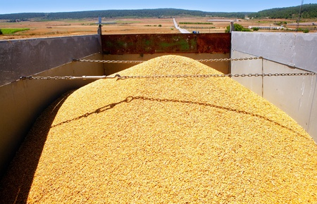 cereal harvest wheat mound in transportation truck photo