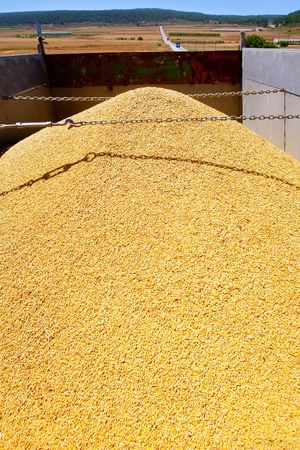 winter wheat: cereal harvest wheat mound in transportation truck
