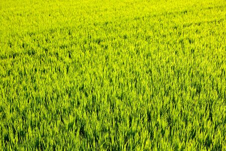 green grass rice cereal field in Valencia Spain Stock Photo - 10743313