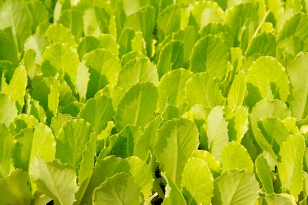 lettuce green little sprouts growing to be plant out in fieds photo