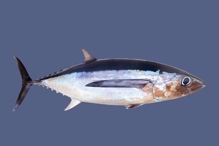 atun rojo: El atún blanco atún Thunnus Alalunga aislado en gris Foto de archivo