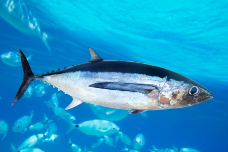tuna: Albacore tuna fish Thunnus Alalunga underwater ocean Stock Photo