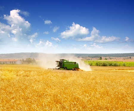 agronomics: Combine harvester harvesting wheat cereal in farm