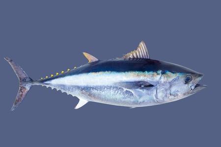 atun rojo: El atún rojo Thunnus thynnus pescados de agua salada islated en gris