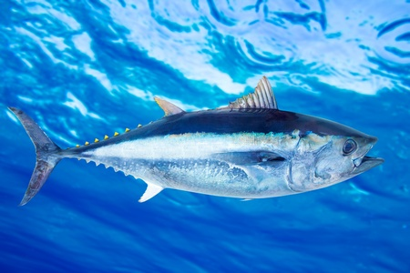 tuna: Bluefin tuna Thunnus thynnus saltwater fish underwater blue sea