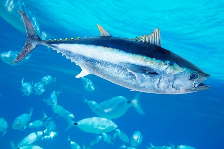school of fish: Bluefin tuna Thunnus thynnus saltwater fish in mediterranean