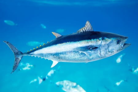 Bluefin tuna Thunnus thynnus saltwater fish in mediterranean