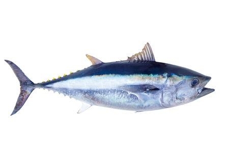 Roter Thun Thunnus thynnus Salzwasserfische isoliert auf weiß