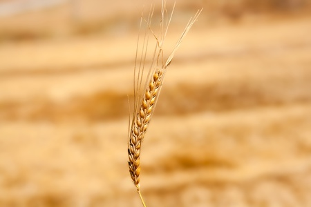 winter wheat: alone cereal spike in wheat golden field Stock Photo