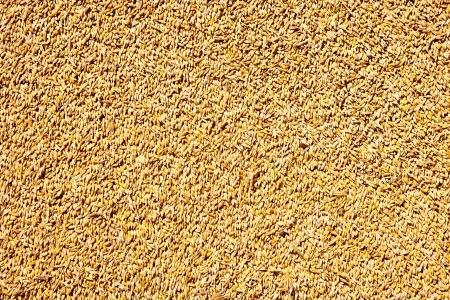 animal feed:  cereal wheat grain texture pattern in harvest time
