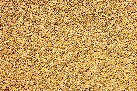 granen tarwe textuur patroon in de oogsttijd