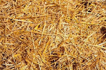 winter wheat: cereal straw just after harvesting texture Stock Photo