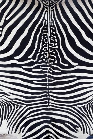 cuero vaca: Textura de piel de cuero de cebra pintada de una vaca Foto de archivo