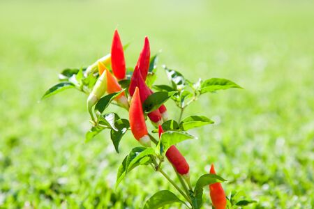 piquancy: chili hot peppers plant in red orange and yellow Stock Photo