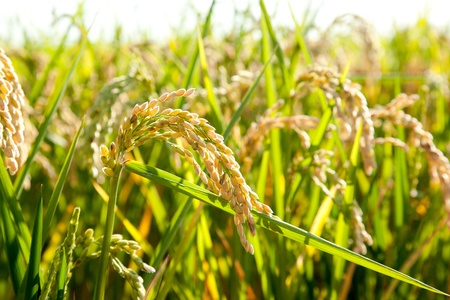 spanish landscapes: Cereal rice fields with ripe spikes closeup macro Stock Photo