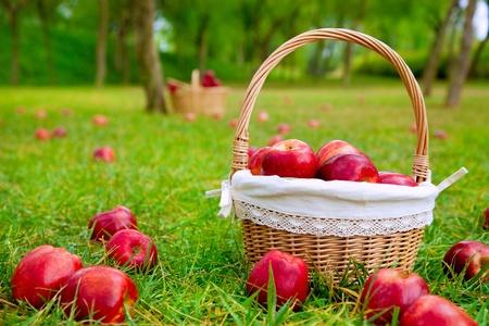 corbeille de fruits: les pommes dans le panier sur l'herbe d'un champ d'arbres dans la couleur rouge