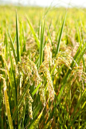 rice paddy: Cereal rice fields with ripe spikes closeup macro Stock Photo