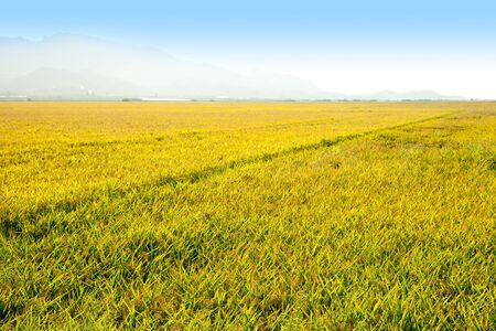 Cereal rice fields with ripe spikes in Valencia province spain photo