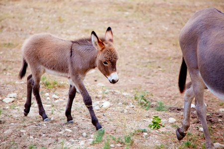 dun: Baby donkey mule with mother in mediterranean Spain