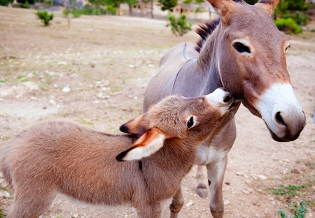 Baby donkey mule with mother in mediterranean Spain photo