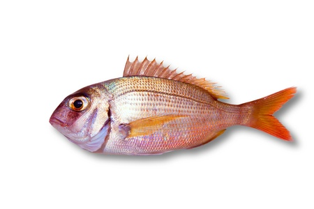 escamas de peces: Com�n besugo Pagrus peces aislados en blanco