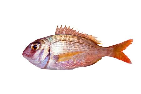 common market: Common sea bream pagrus fish isolated on white Stock Photo