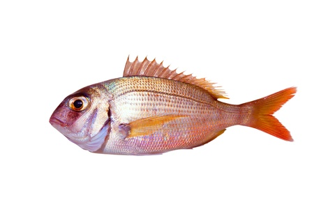 daurade: Commune dorade Pagrus poissons isol� sur blanc