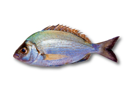 Diplodus sargus white sea bream isolated on white photo