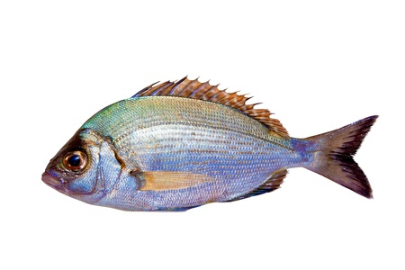 fish store: Diplodus sargus white sea bream isolated on white
