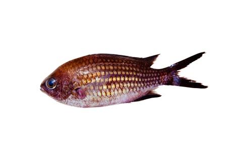 damselfish: Chromis chromis Damselfish rock fish isolated on white Stock Photo