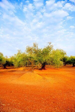 arboleda: campos de olivo en el suelo de color rojo y cielo azul en la España mediterránea Foto de archivo