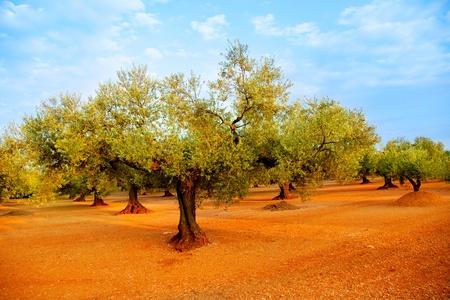 bosquet: campos de olivo en el suelo de color rojo y cielo azul en la Espa�a mediterr�nea Foto de archivo