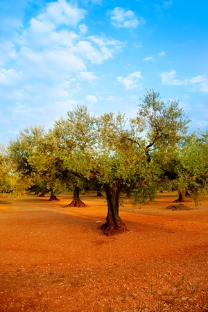 mediterranean forest: olive tree fields in red soil and blue sky in Mediterranean Spain