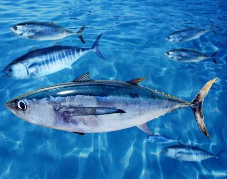 Witte tonijn Thunnus alalunga vis tussen blauwvintonijn scholen