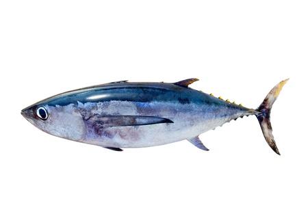 atun rojo: Atún blanco Thunnus alalunga peces aislados en blanco
