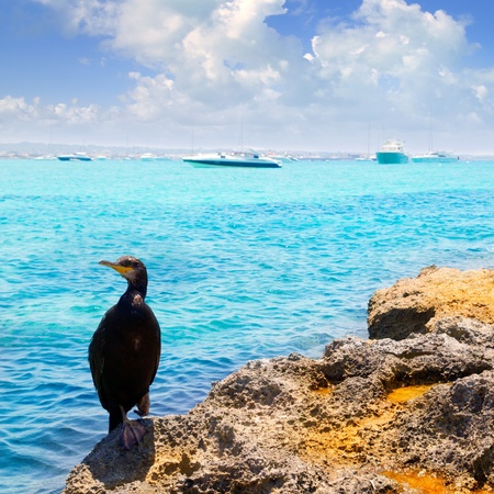 Cormoran bird in formentera rocks with La Savina port background Stock Photo - 11058091