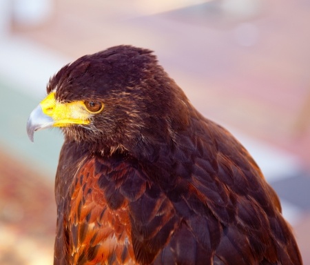 aquila: Aquila nipalensis steppe eagle profile in golden sunset light Stock Photo