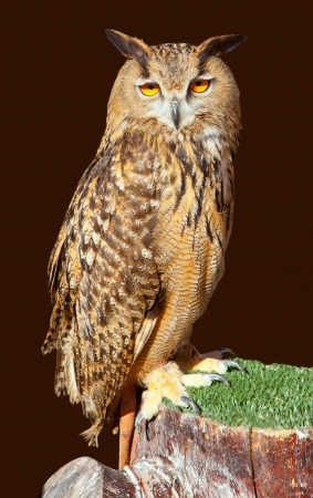 wise old owl: Bubo bubo eagle owl night bird on brown background Stock Photo