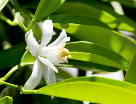 citrus tree: flower orange blossom in spring in pollinating time macro detail Stock Photo